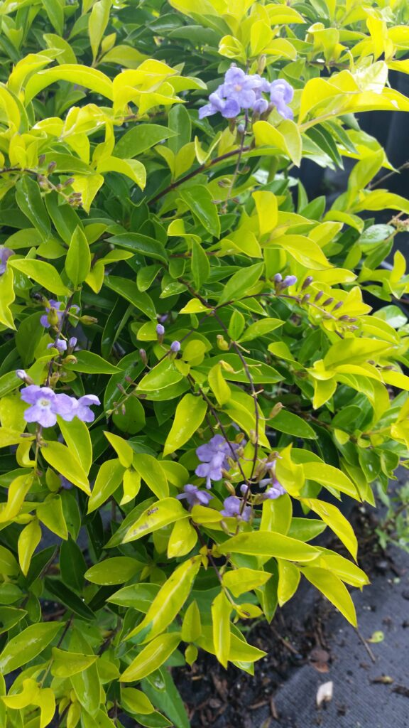 Gold Mound Duranta blooms up close