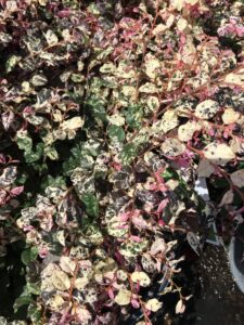 loropetalum Jazz hands foliage up close showing variegation