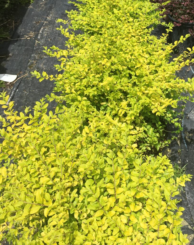 Sunshine Ligustrum folaige in three gallon nursery containers