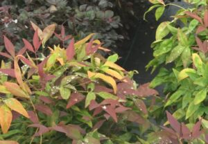 Dwarf Nandina Blush Pink foliage up close