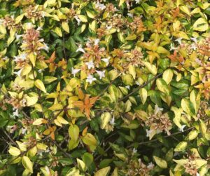 Abelia Grandiflora Sunshine daydream foliage and blooms up close  clsoe