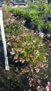 Abelia Rose Creek 3 gallon Crop blooming