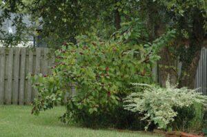 Large Bbeauty Berry Callicarpa americana in Northeast Florida landscape