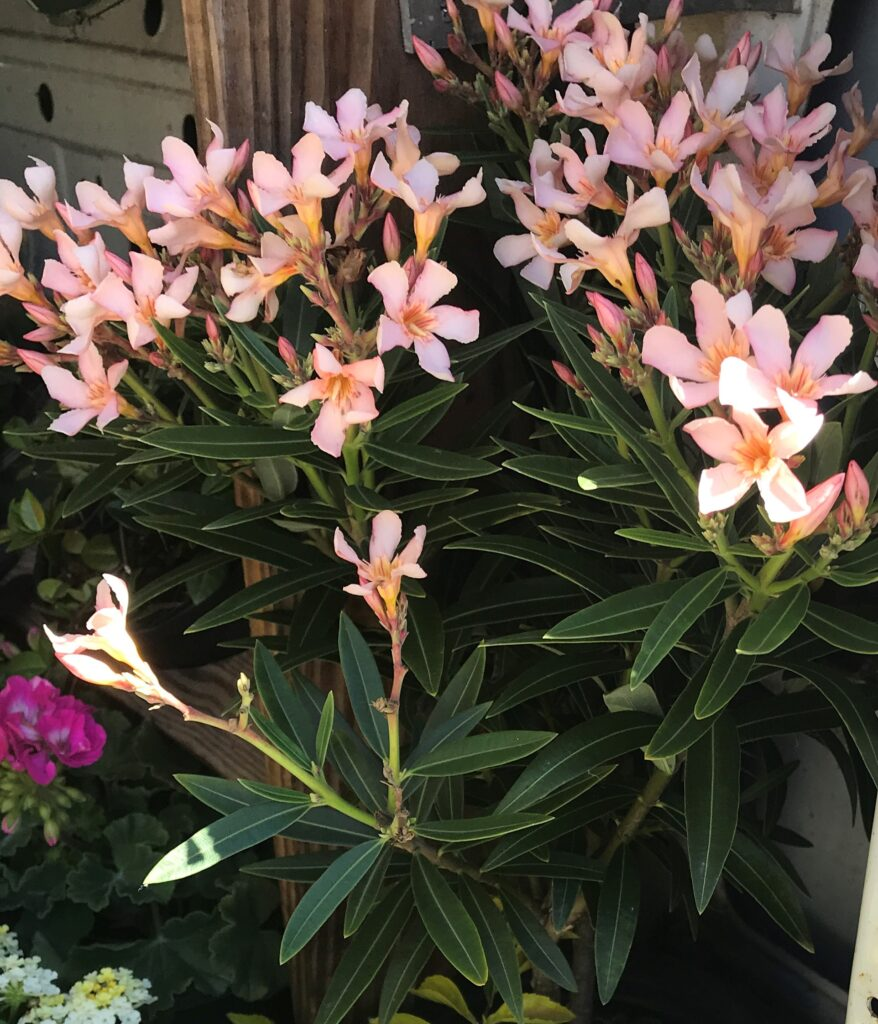 Dwarf Oleander Petite Salmon Flaige and blooms up close in St. Augustine Florida