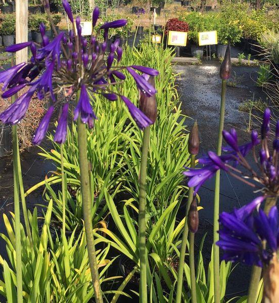 Agapanthus S and J Nursery crop in bloom
