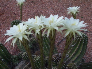 Four Fragrant Cactus Flowers