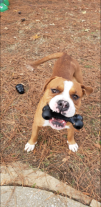 Hank with toy in mouth