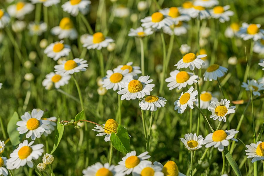 Is Chamomile Extract Good for Your Skin?