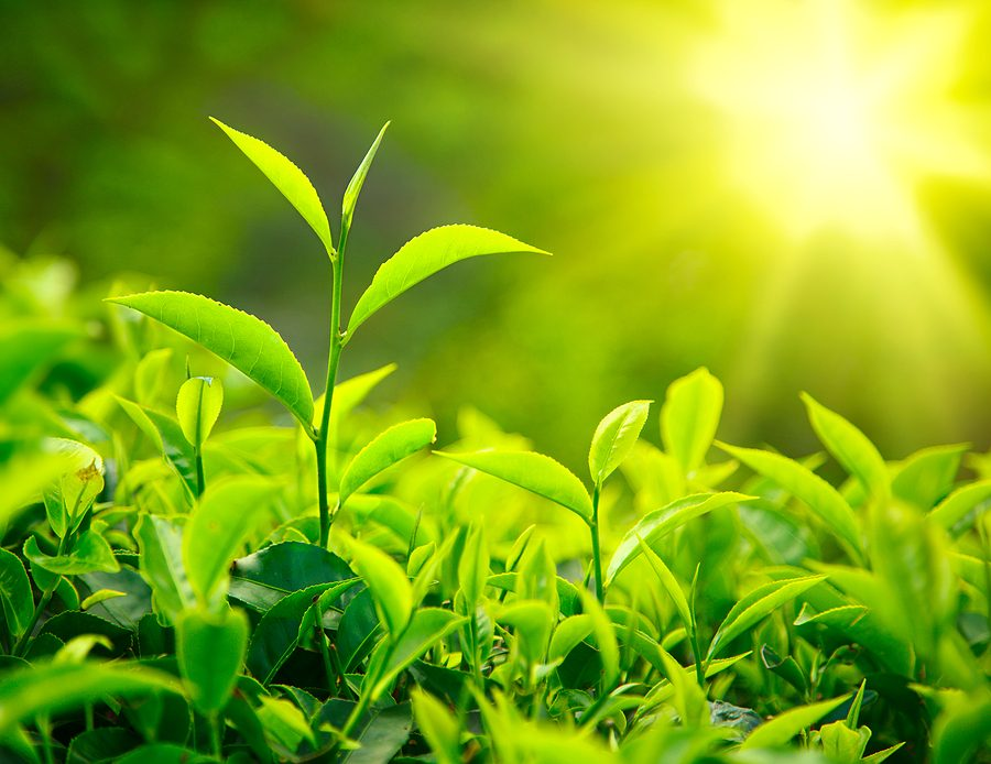 Is Green Tea Extract Good for Your Skin?
