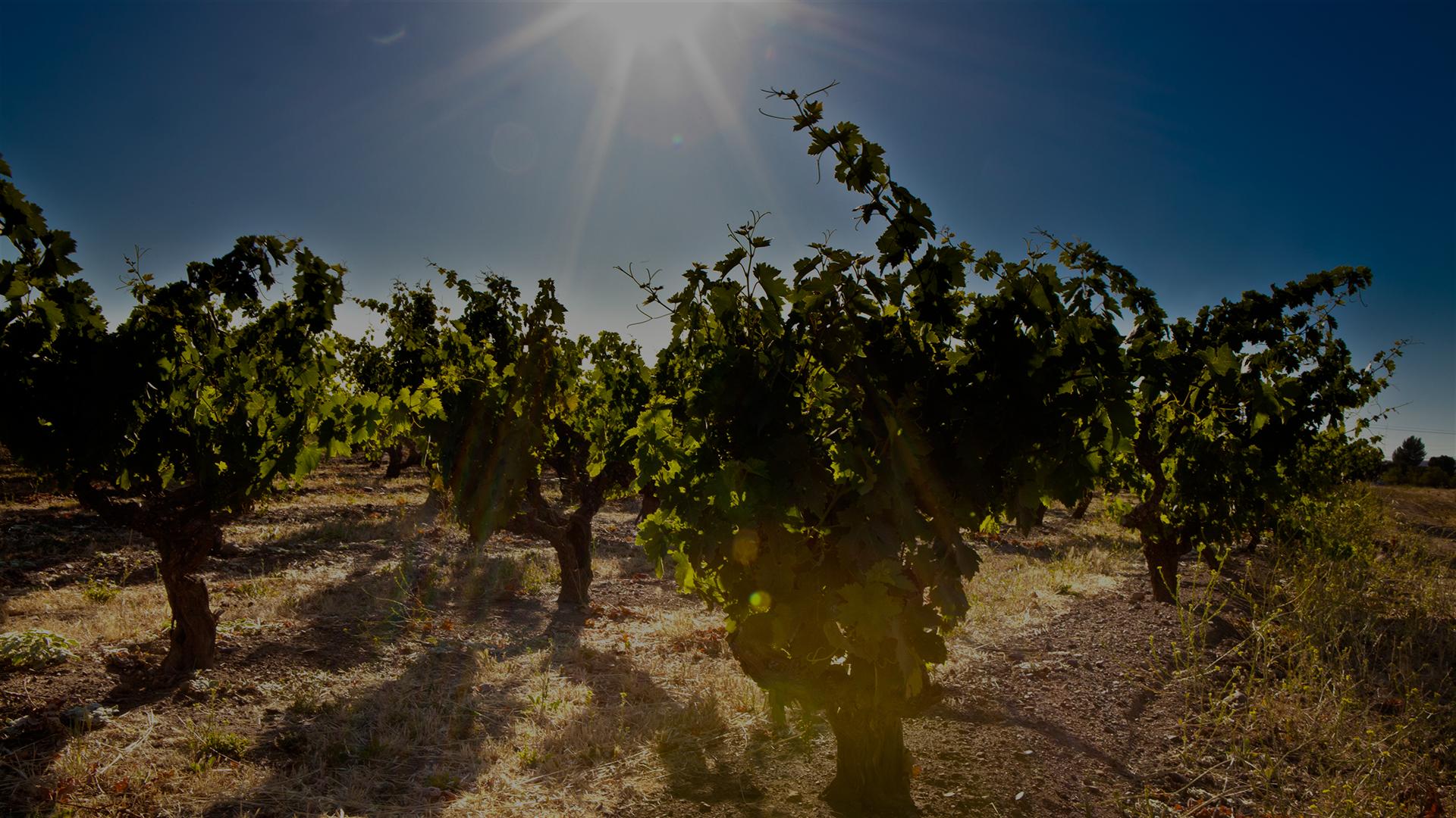 Guglielmo Winery Vineyards Slider