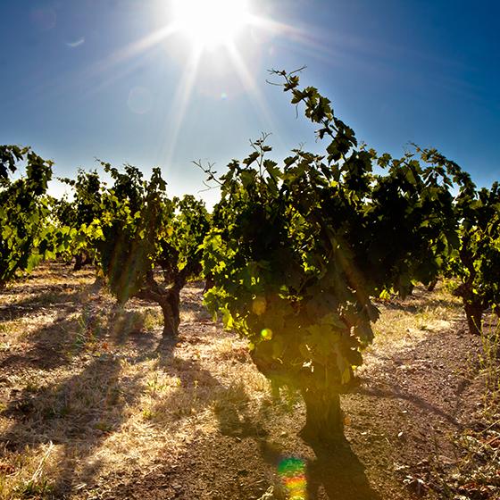 Guglielmo Winery Vineyards