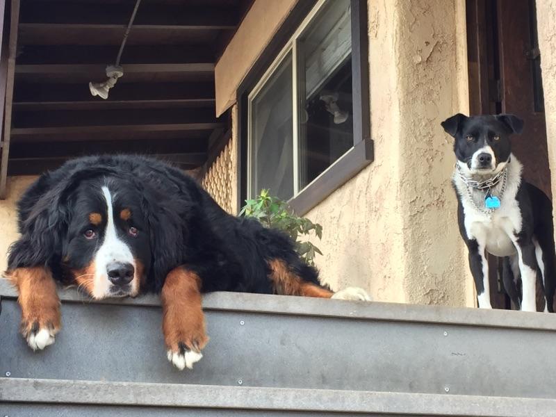 Guglielmo Winery's faithful watch dogs LuigiandMela