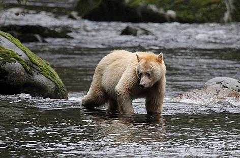 Spirit Bear; courtesy of WWF