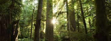 Great Bear Rain Forest Douglas Fir Trees