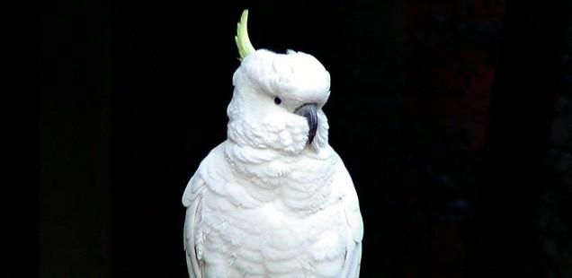 cockatoo critic