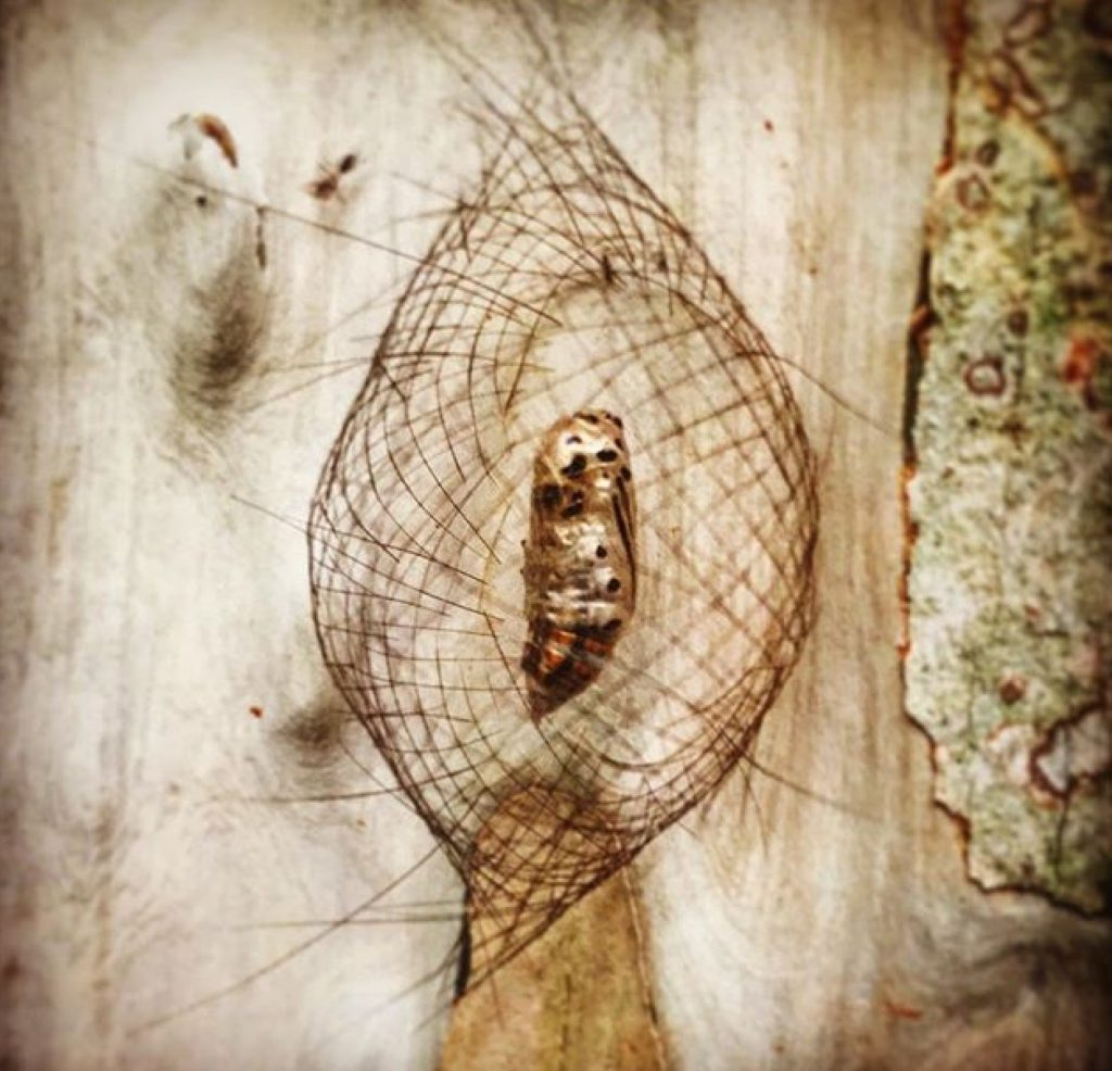 Cicada cocoon