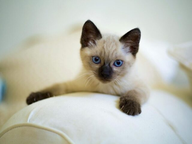 Buy Siamese Cats For Sale Online In India Home Delivery In Delhi
