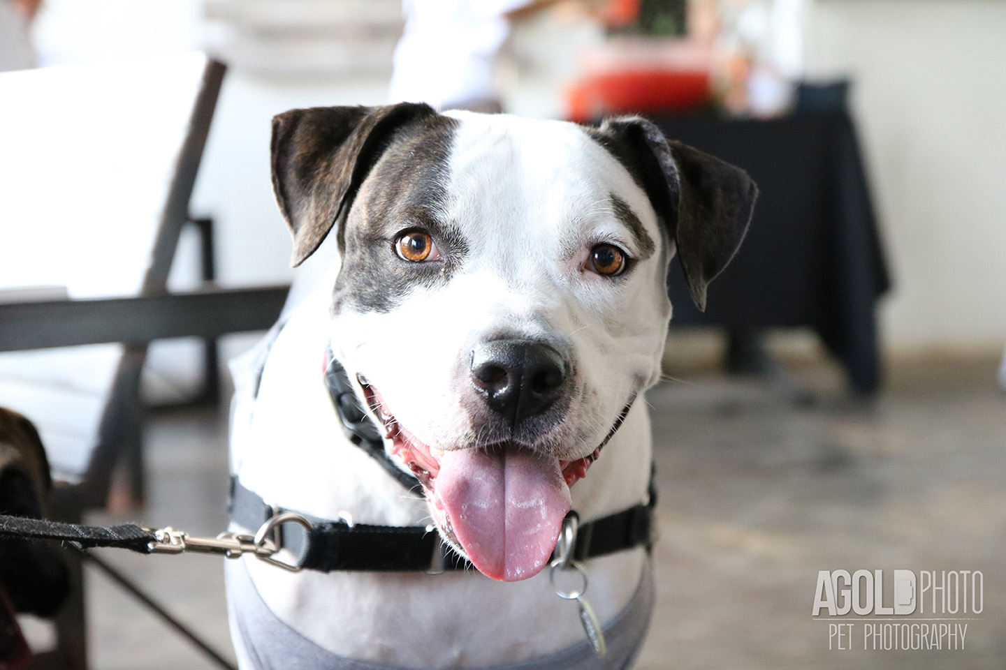 Seminole Heights Pup Crawl_AGoldPhoto Pet Photography_1