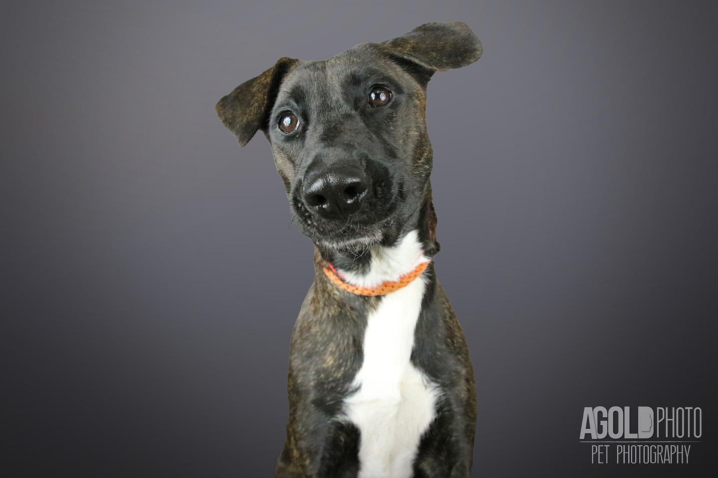 layla_agoldphoto-tampa-pet-photography__agoldphoto-tampa-pet-photography_