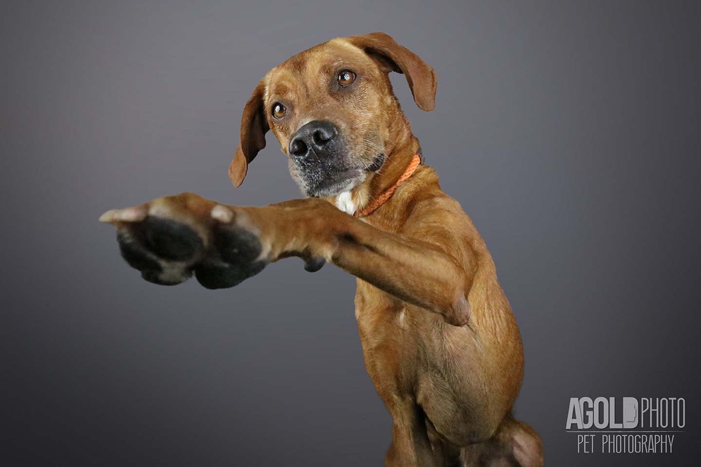 red_agoldphoto-tampa-pet-photography__agoldphoto-tampa-pet-photography_