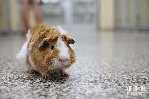 agoldphoto_guinea-pig1