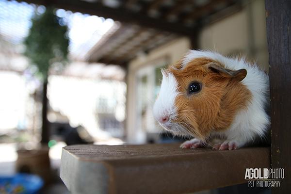 agoldphoto_guinea-pig11