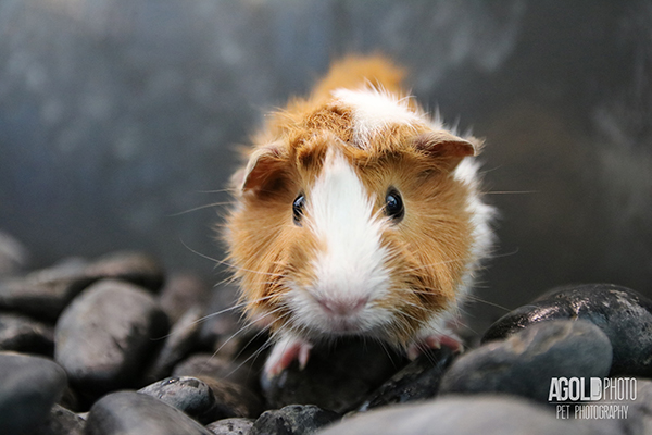 agoldphoto_guinea-pig3