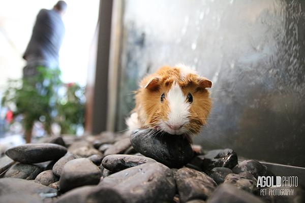 agoldphoto_guinea-pig4