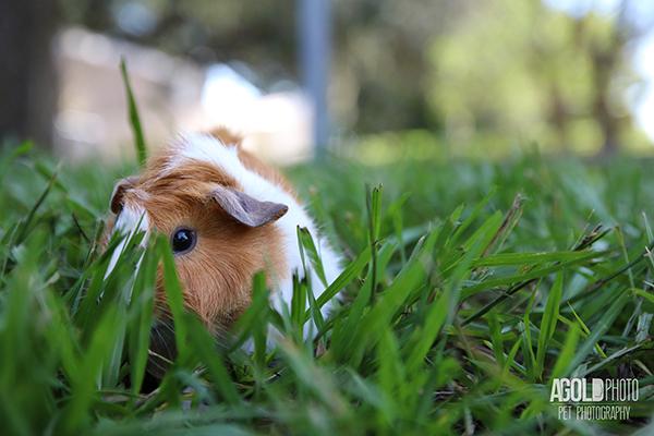 agoldphoto_guinea-pig7