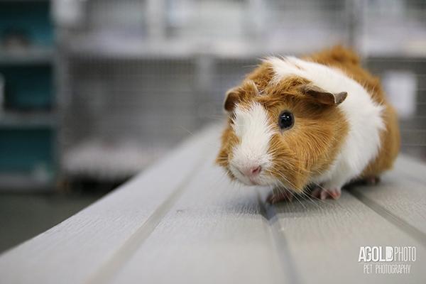 agoldphoto_guinea-pig9