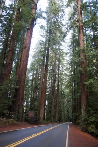 avenue of the giants -- redwood trees in california