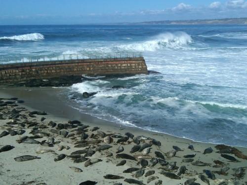 seals and shorebreak at la jolla cove