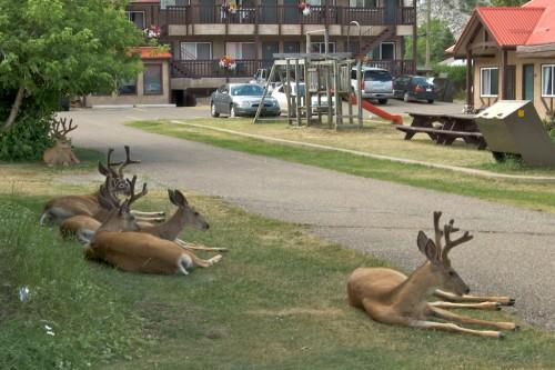 Deer at Waterton Townsite.