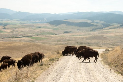 Bison refuge in southwest Montana