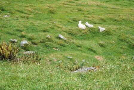 Matukituki sheep.