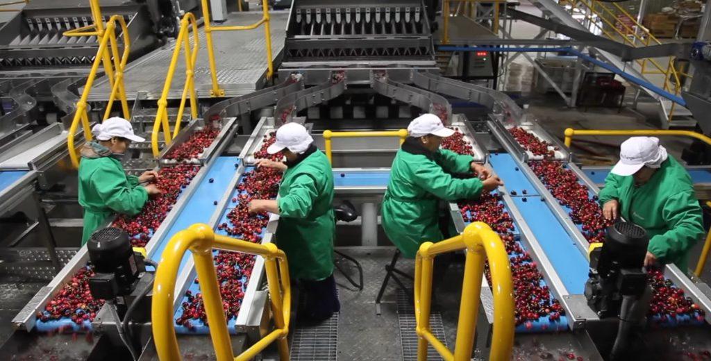 Cherry Export 4