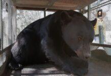 capturan-al-oso-que-alarmo-a-personas-en-ejido-de-arteaga-cam