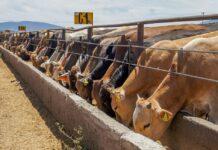 destaca-coahuila-en-exportacion-de-ganado-cam