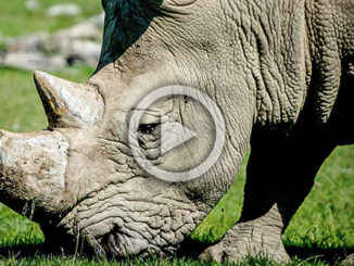 Vince the Rhino - Killed at Zoo | Meat Your Future