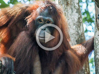 Pony the Orangutan Slave | Meat Your Future