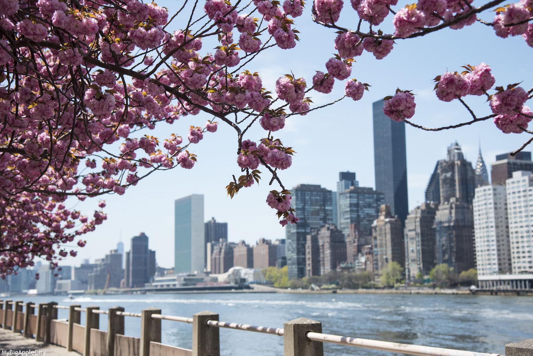 New-York-Skyline-Cherry-Tree-Visit-USA-MyBigAppleCity