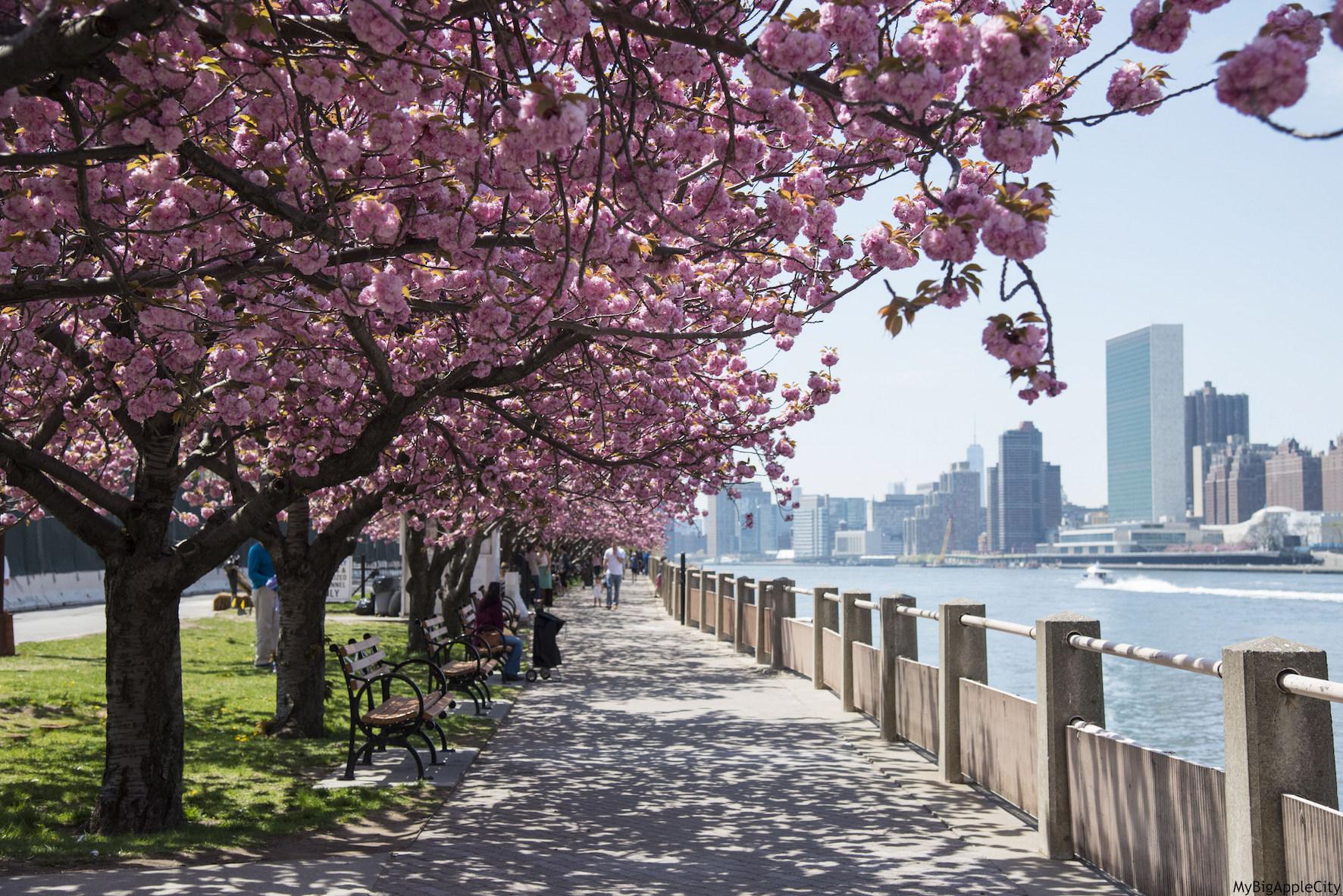 Roosevelt-island-cherryblossom-trees-New-York-blogger
