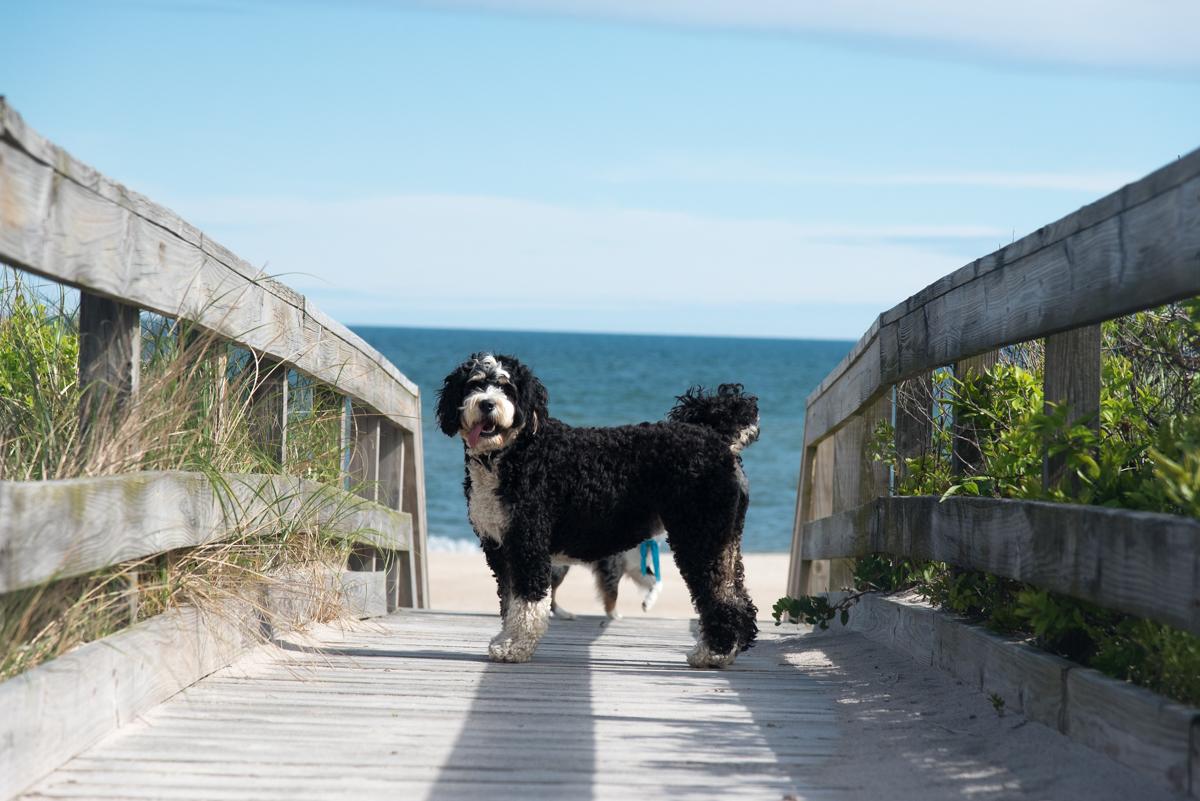 Bernadoodle Dog Lover Fire Island