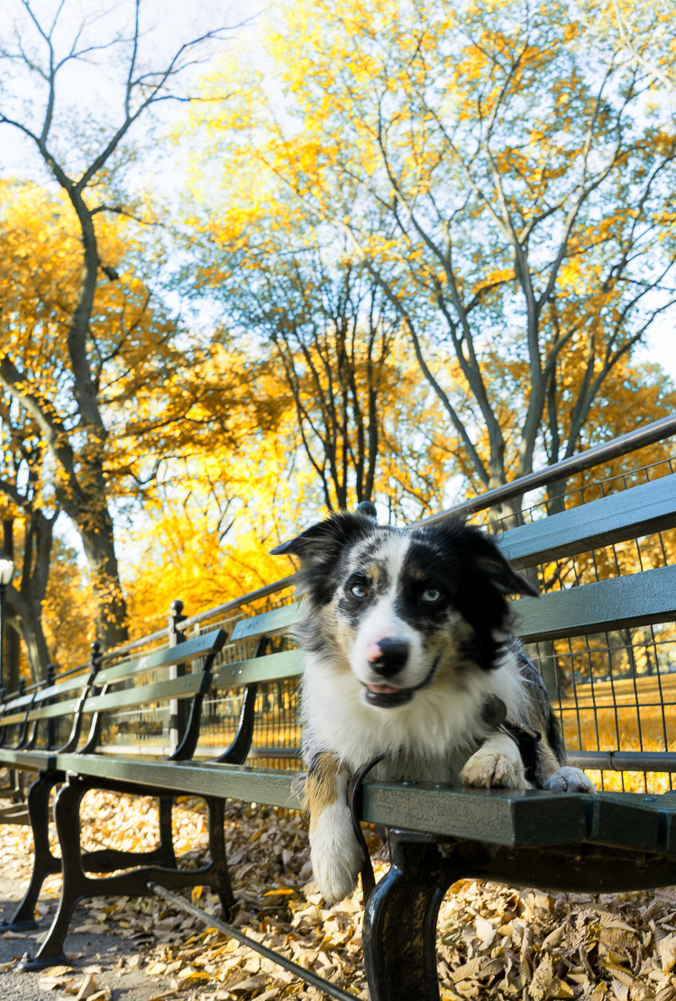 Dog of Central Park NYC
