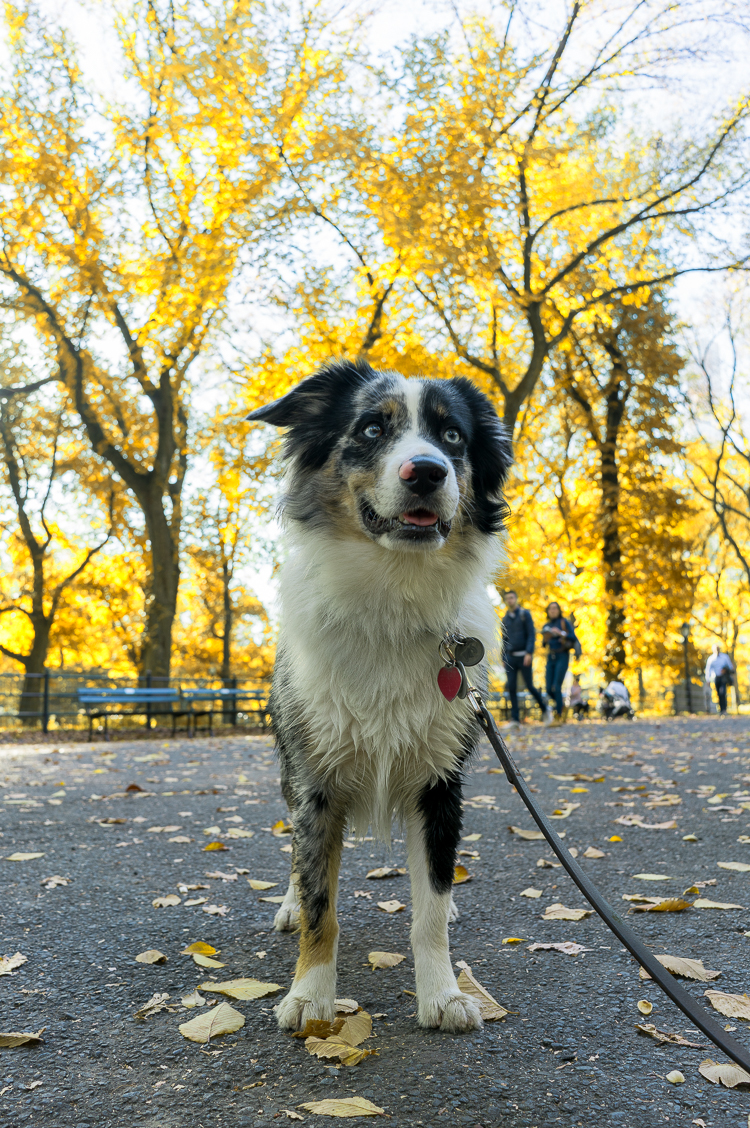 Fall in Central Park Dog New York