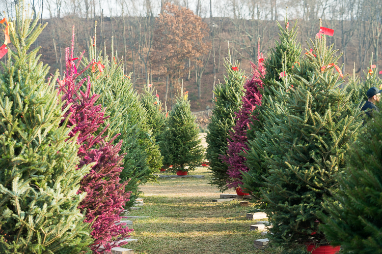 Cut your own christmas tree near NYC