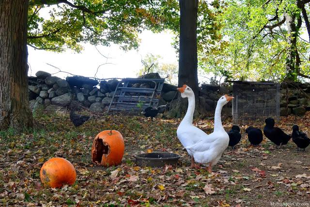 pumpkin-picking-nyc-mybigapplecity-barn