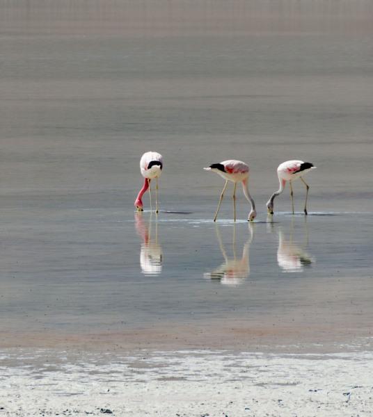 Bolivia - Flamingos