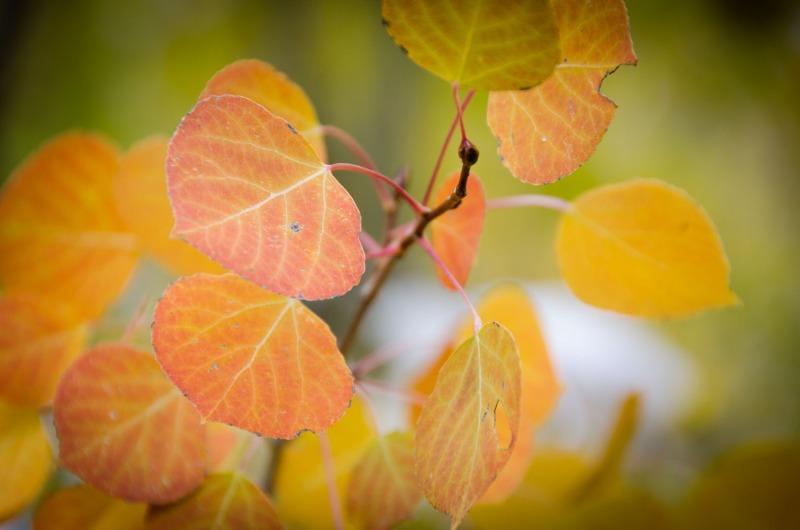 Utah - Golden leaves