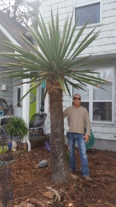 Yucca Elephantipes (Giant White) Palm Tree